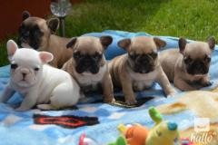 French Bulldogs.whatsaap Me If Interested2376543