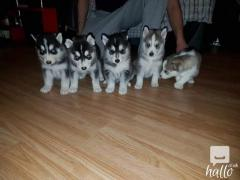 Amazing siberian husky Puppies.