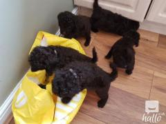 Two Labrador Puppies Adoption.