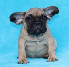 Quality Kc French Bulldog Puppies