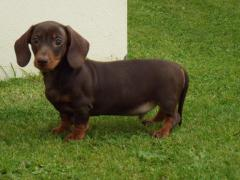 Well trained Dachshund puppies for New home