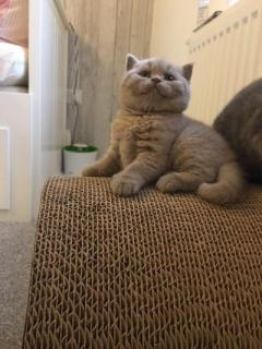 British Short Hair Kittens For Free A New Home