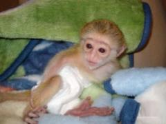Adorable Healthy Capuchin Monkey For Adoption