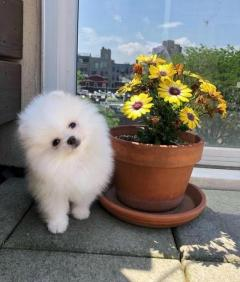 Pure White Teddy Bears Pomeranian puppies