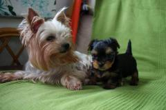 Adorable Yorkshire Terrier Teacup