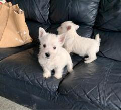 Beautiful Westie Puppies For Sale