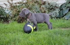 fully vaccinated Italiano Cane Corso puppies