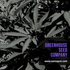 Consult the experts of Greenhouse Seed Company for best