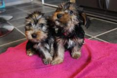 Gorgeous and adorable Teacup Yorkie Puppies