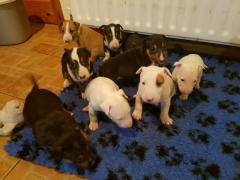 Amazing Bullterrier Puppies.whatsaap me639232316532