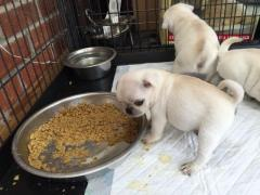 Fawn Pugs Puppies..whatsaap me 0639232316532