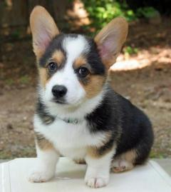 Prembroke Welsh Corgi puppies