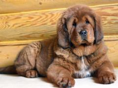 Tibetan Mastiff Pups For Pet Loving Home