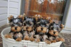 Genuine Trained  Boys&Girls  Yorkshire Terrier Puppies