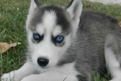 Sweet Siberian Husky Puppies.