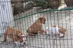 Gorgeous English Bulldog puppies w