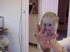 Capuchin Monkeys for sale and adoption