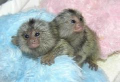 Marmoset Monkeys for sale and adoption