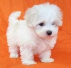 Maltese Kc  Male And Female Left.