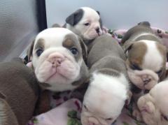 Adorable English bulldog for adoption