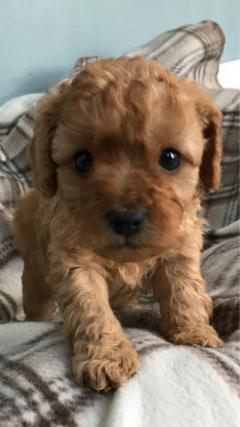 Adorable covapoo puppy for sale