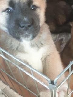 Lovely Merican Akita for adoption