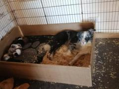 LOVELY Border collie puppies for adoption