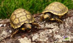 Eastern Hermanns Tortoise Well started hatchling