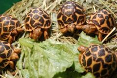Eastern Hermanns Tortoise-Juvenile