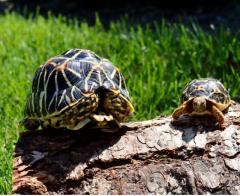 Indian Star Tortoise Hatchling