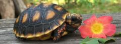 Redfoot Tortoise hatchling-Well Started