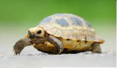 Elongated tortoise hatchling
