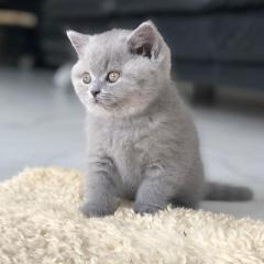 british shorthair adoption