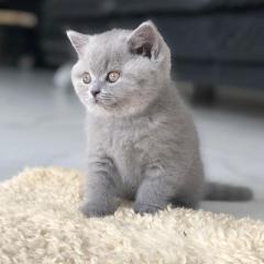 British Shorthair Adoption