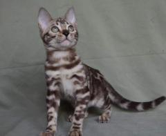 Bengal Kittens For Adoption