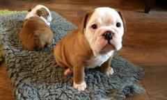 Beautiful ShRegistered English Bulldogs .whatsapp me at