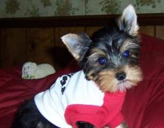 Yorkshire Terrier Puppies.whatsapp me at 447418348600