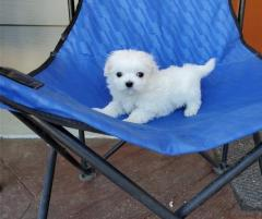 Maltese Puppies For Sale.whatsapp me at 447418348600