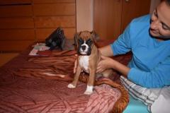 Beautiful Boxer Puppies whatsapp me at 447418348600
