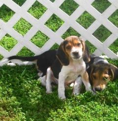 Beautiful Beagle Puppies.whatsapp me at 447418348600