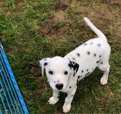 Beautiful Dalmatian Puppies.whatsapp me at 44741834860