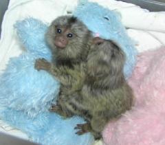 Marmoset Monkeyswhatsapp me at 447418348600