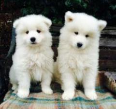 Kc reg Samoyed Puppies Now