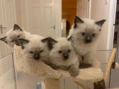 Gccf Registered Ragdoll Kittens For Sale