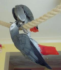 Tame & Talking African Grey With Cage