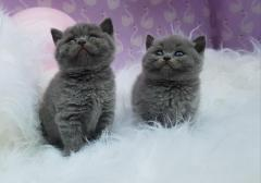 British Shorthair Kittens Tica