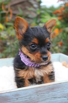 Kc Miniature Yorkshire Terrier Puppies.