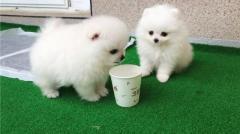 Snow White Pomeranian Puppies.