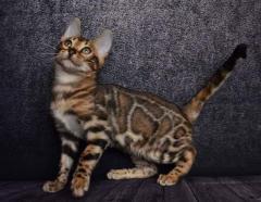 TICA Reg Gorgeous Brown Bengal Kittens