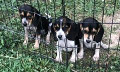 Beagle Pups Available Now